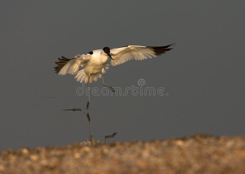 Bonte Avocet, Kluut, Recurvirostra-avosetta stock afbeelding