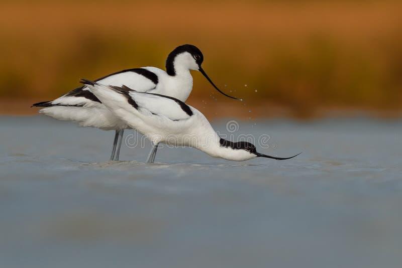 Bonte Avocet & x28; mannetje en female& x29; op het meer die voor het copulating voorbereidingen treffen stock fotografie