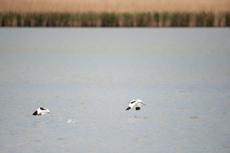 Bonte avocet twee - Recurvirostra die avosetta- van een meer opstijgen stock fotografie
