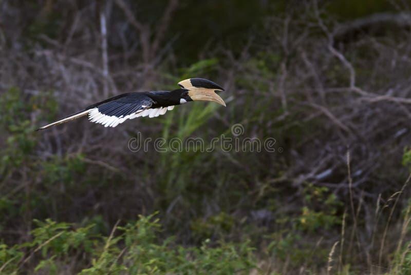 Bonte -bont-hornbill Malabar - Anthracoceros-coronatus stock afbeeldingen