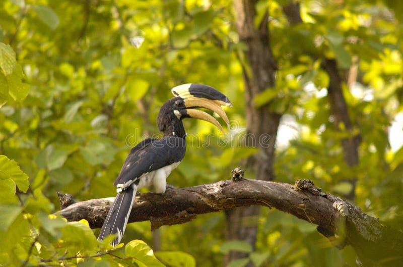 Bonte hornbill van Malabar stock fotografie