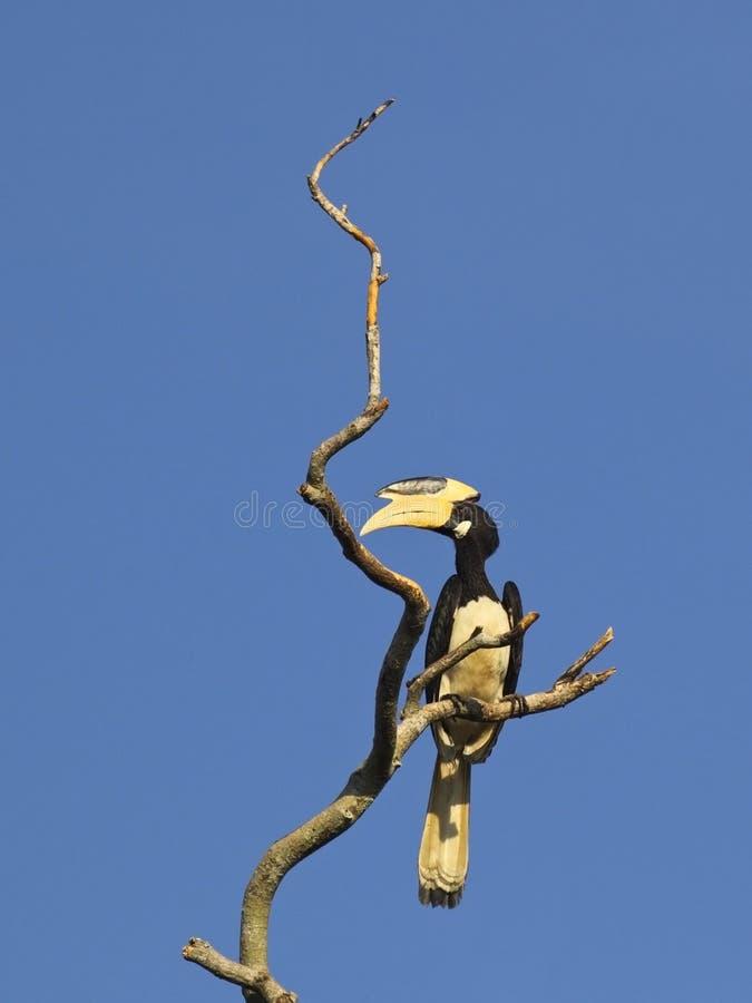 Bonte hornbill van Malabar royalty-vrije stock foto