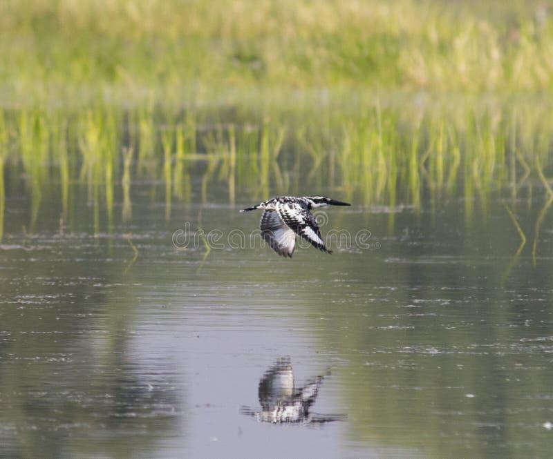 Bonte Ijsvogel stock afbeeldingen