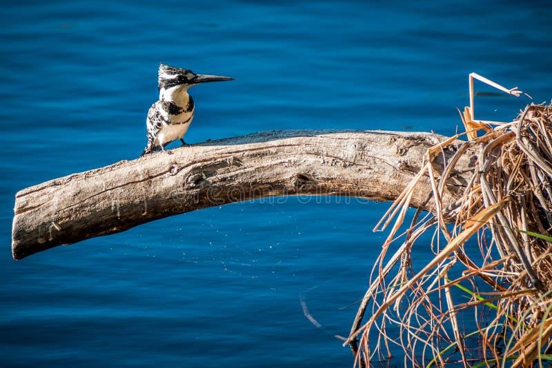 Bonte Ijsvogel (Ceryle-rudis), Okavango, Botswana stock foto's
