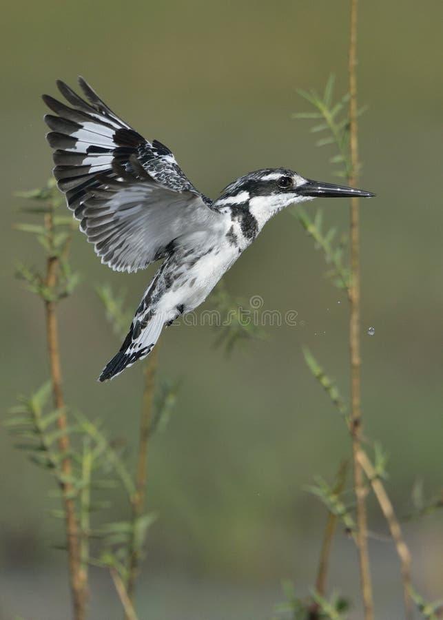 Bonte Ijsvogel die over water hangen royalty-vrije stock foto