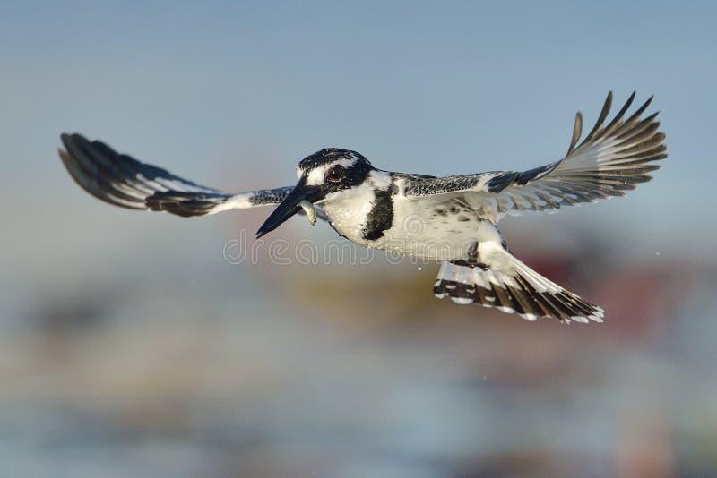 Bonte Ijsvogel die over water met een vis hangen stock foto's