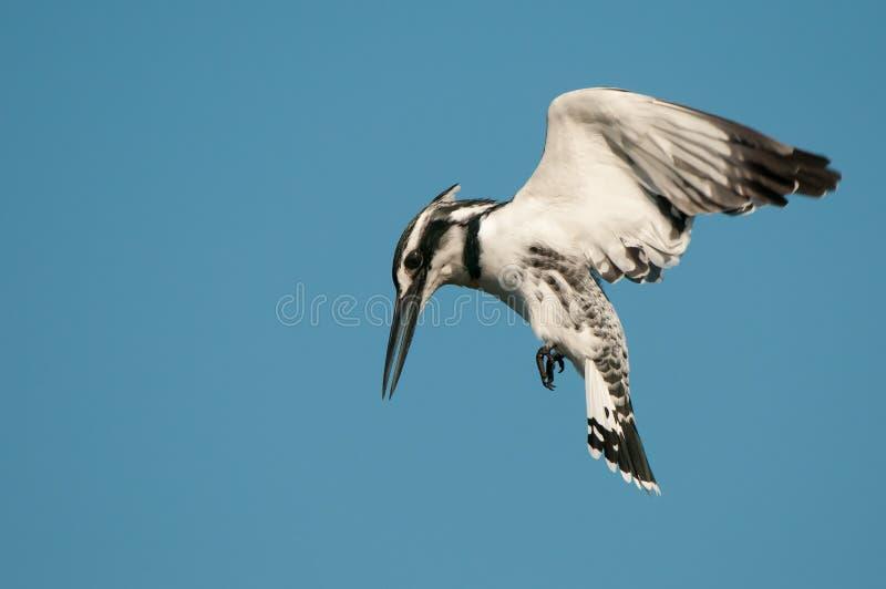 Bonte ijsvogel die terwijl het jacht hangt royalty-vrije stock afbeeldingen