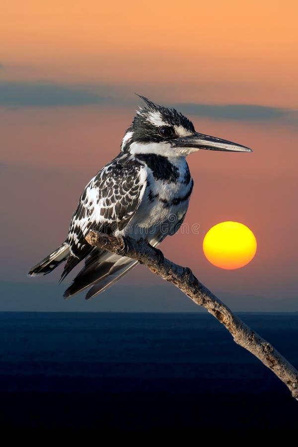 Bonte Ijsvogel in Kenia, Afrika stock fotografie