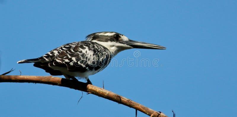 Bonte Ijsvogel op hoge toppositie tegen blauwe hemel royalty-vrije stock fotografie