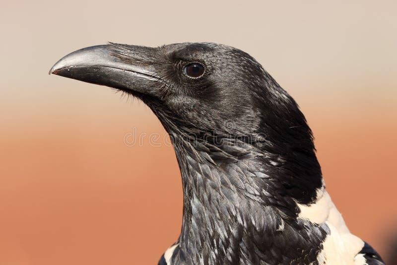 Bonte kraai, Corvus-albus royalty-vrije stock afbeeldingen