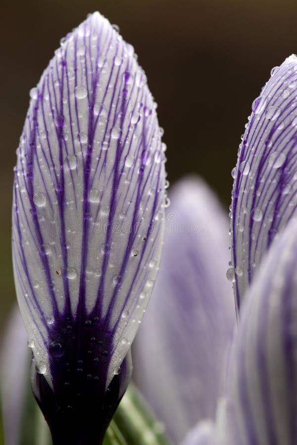 Bonte krokus,春天番红花,番红花vernus 库存照片