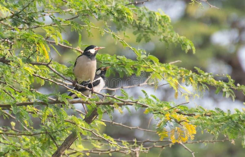 Bonte myna of het Aziatische bonte starling Gracupica contra royalty-vrije stock fotografie