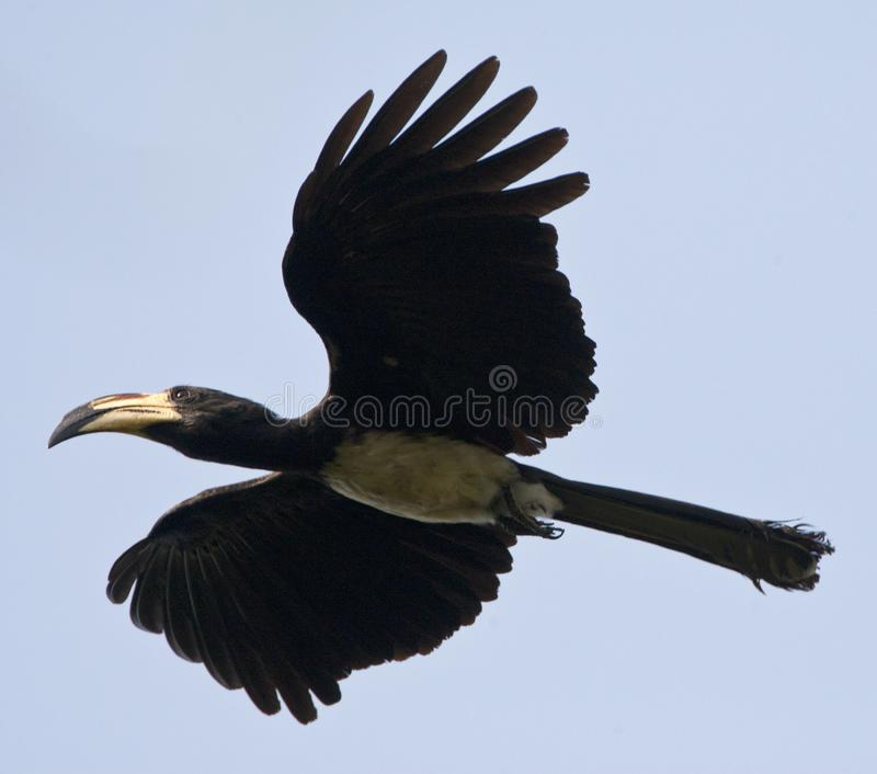 Bonte Tok, African Pied Hornbill, Tockus fasciatus royalty free stock photography