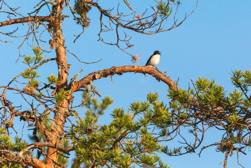 Bonte Vliegenvangerzitting op een boomtak stock foto