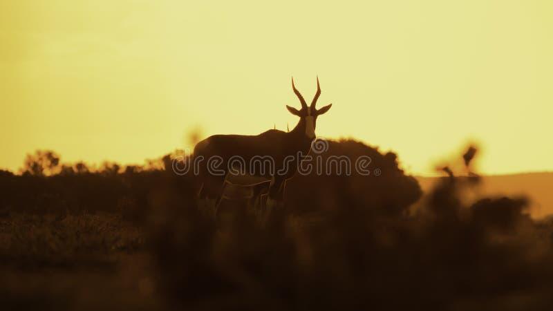 Bontebok, África do Sul fotografia de stock