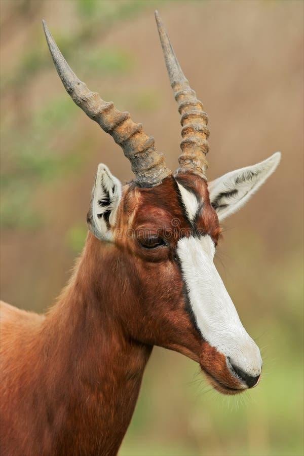 Download Bontebok antelope stock image. Image of pygargus, nature - 22702313