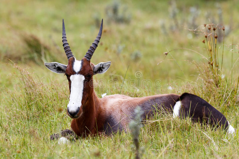 Bontebok Just Chilling. Kragga Kamma Game Park in Port Elizabeth lush coastal forest and grassland is home to vast herds of African game royalty free stock photos