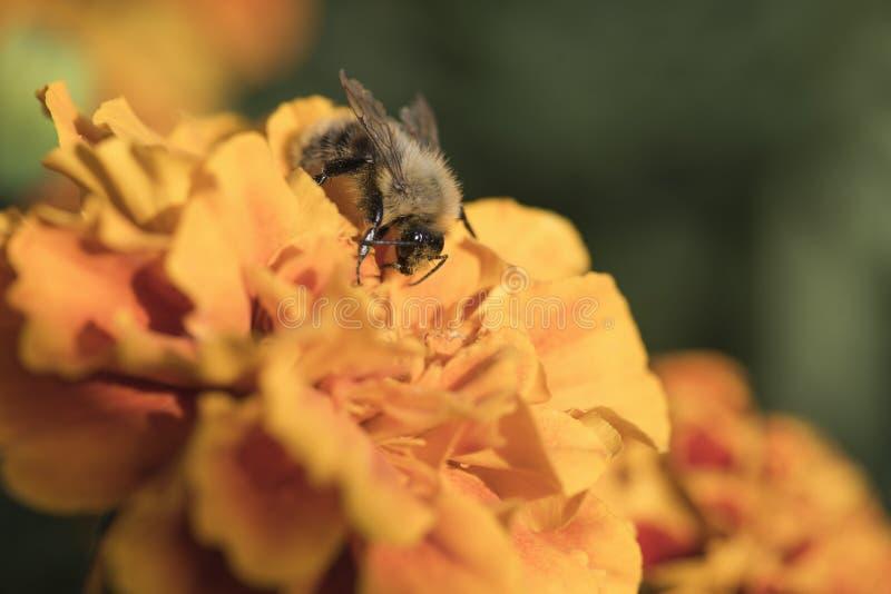 Bonthommel op een oranje bloem, het zonnige ` s royalty-vrije stock fotografie