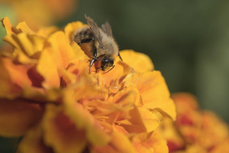 Bonthommel op een oranje bloem, het zonnige ` s stock fotografie