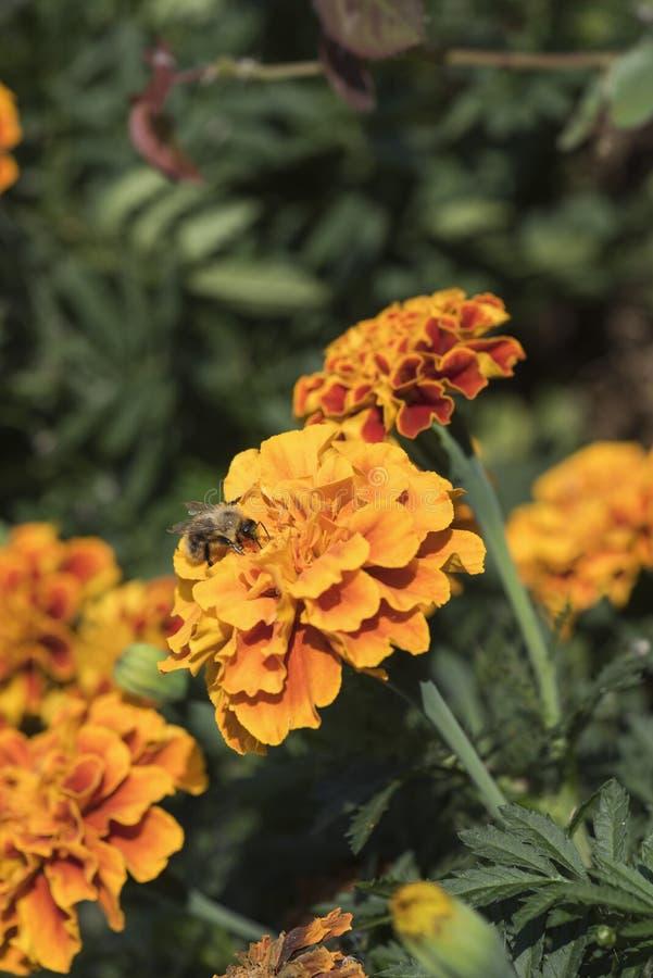 Bonthommel op een oranje bloem, het zonnige ` s stock foto