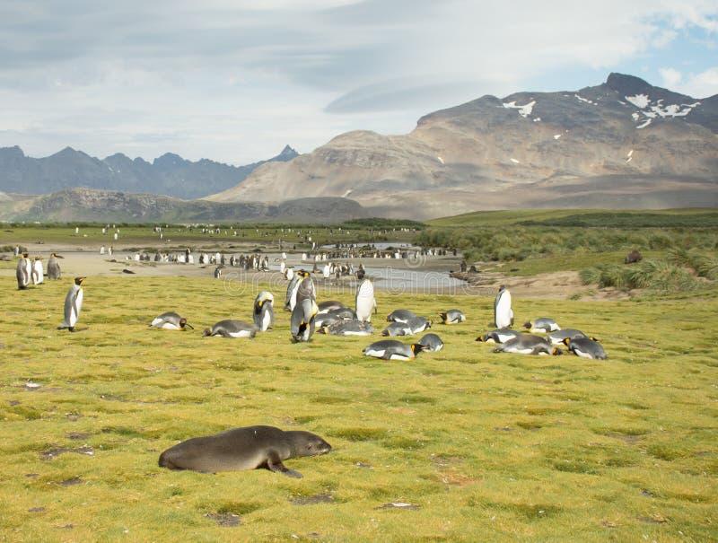 Bontverbinding, Koning Penguins en Ruwe Bergen stock foto