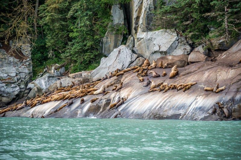 Bontverbindingen die op de rotsachtige kust in Chilkoot zonnebaden royalty-vrije stock foto