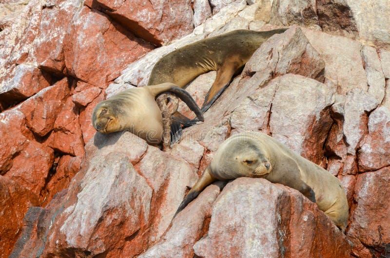 Bontverbindingen & x28; overzees lions& x29; zonnebadend op de Ballestas-Eilanden rode klippen, in Peru stock afbeelding