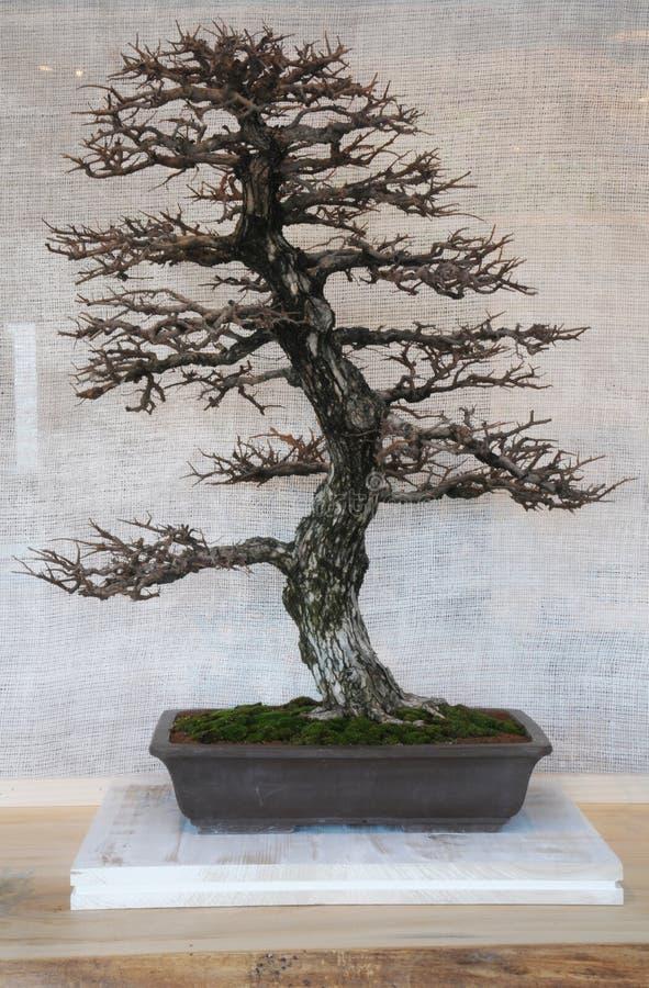 bonzai drzewo obrazy stock