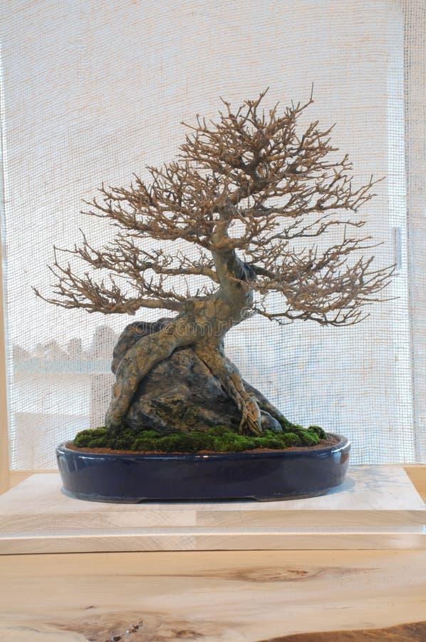 bonzai drzewo fotografia stock