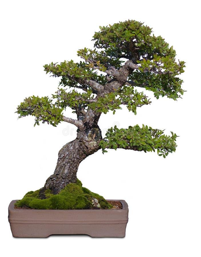 Free Bonzai Tree Royalty Free Stock Photos - 13740818