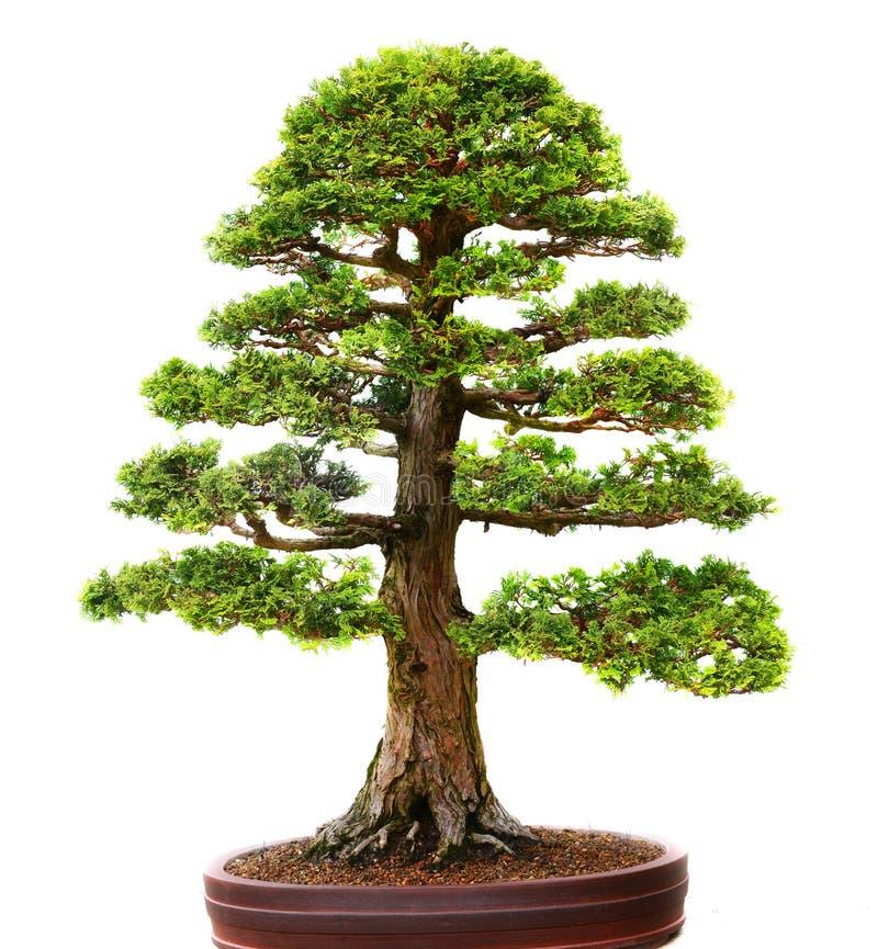 Bonzai tree royalty free stock photography
