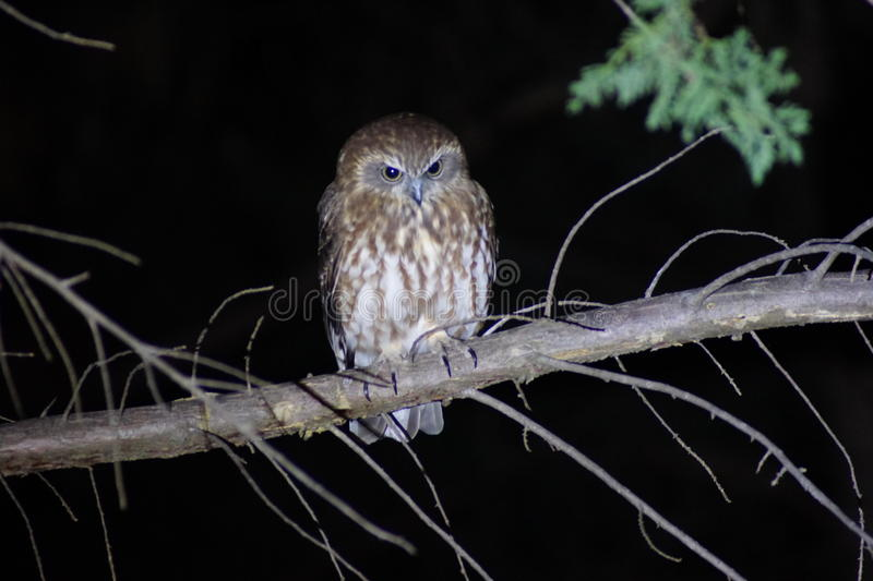 Boo Book Owl. The Boo Book Owl was in the tree outside my lounge room. He sat quietly so I could take this photo. Beautiful birds with strong eyes to see insects royalty free stock photos