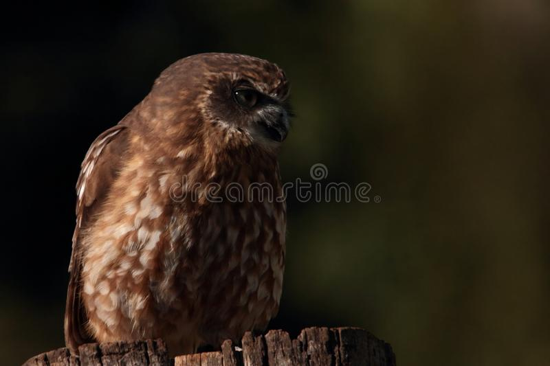 Boobook Or Barking Owl Royalty Free Stock Images