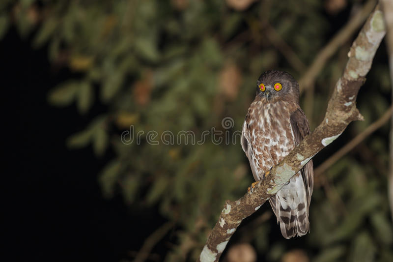 Boobook or barking owl species royalty free stock photos