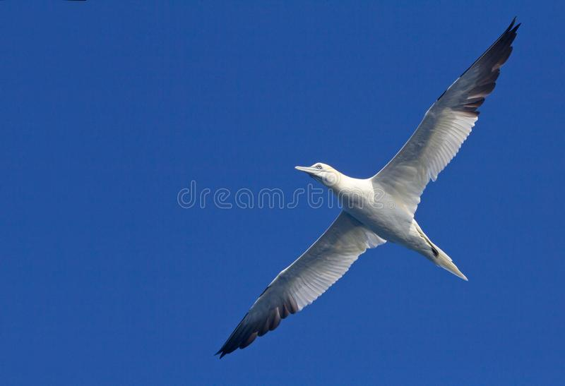 Booby. Beautiful exemplary of booby fly flying high in the sky royalty free stock photography