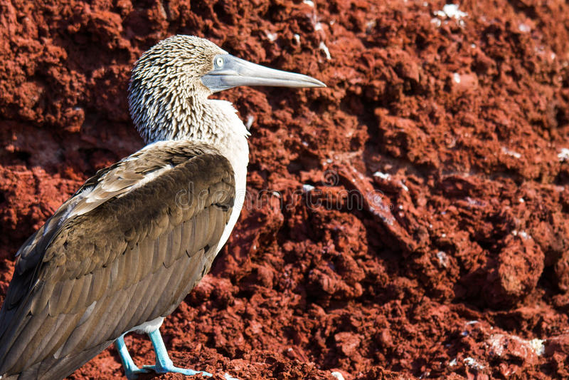 Booby pagado azul dos consoles de Galápagos fotos de stock royalty free