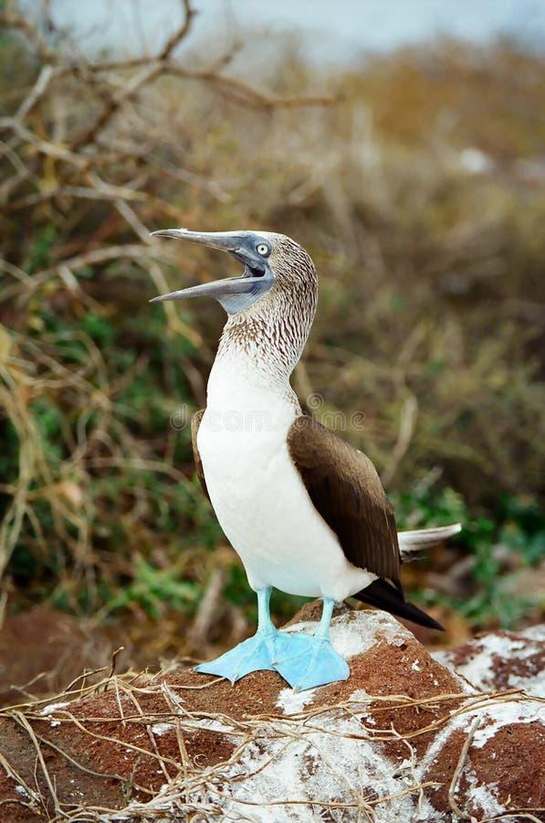 Booby pagato blu del Galapagos che richiede un compagno immagine stock libera da diritti
