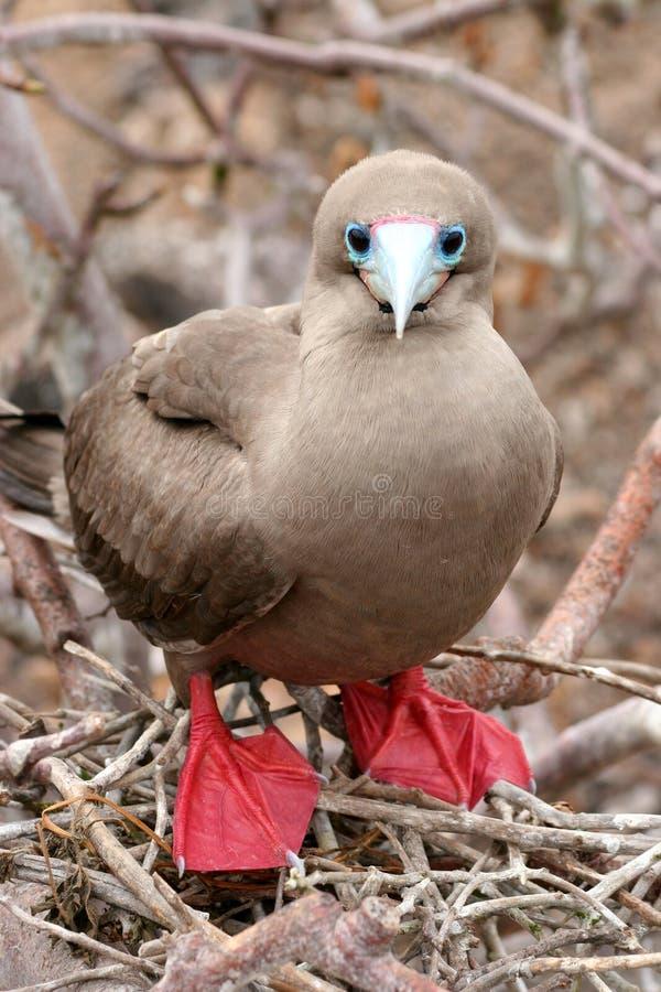 Booby Rosso-footed, Galapagos fotografia stock libera da diritti