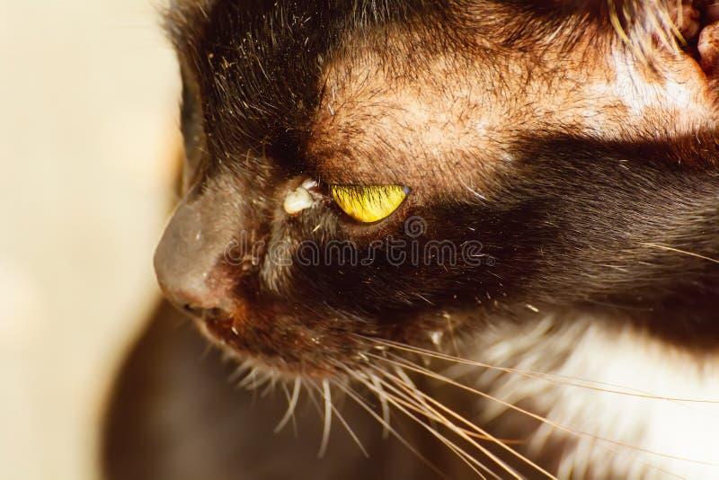 Boogers do olho nos gatos foto de stock royalty free