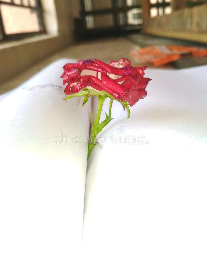 The book rose royalty free stock photography