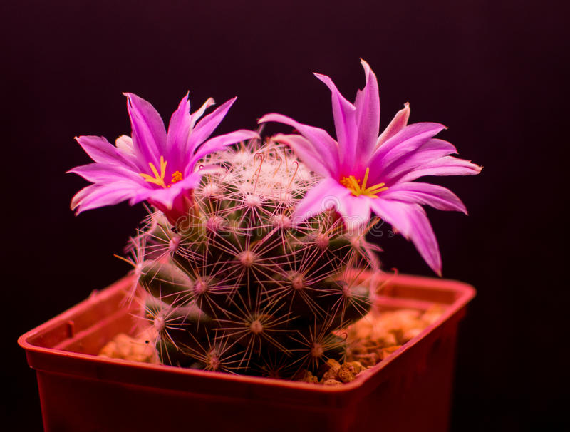 Boolii de Mammillaria photo libre de droits