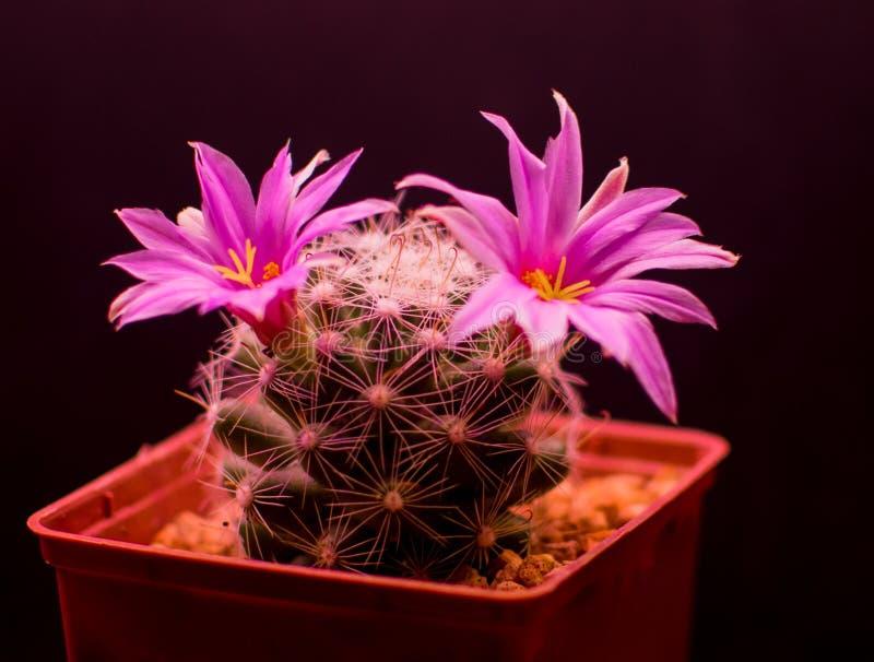 Boolii do Mammillaria foto de stock royalty free