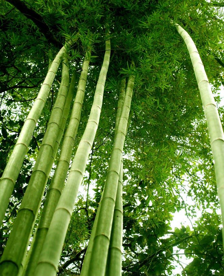 Boom 02 van het bamboe stock foto's