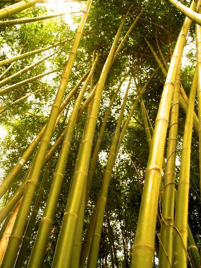Boom 2 van het bamboe royalty-vrije stock fotografie
