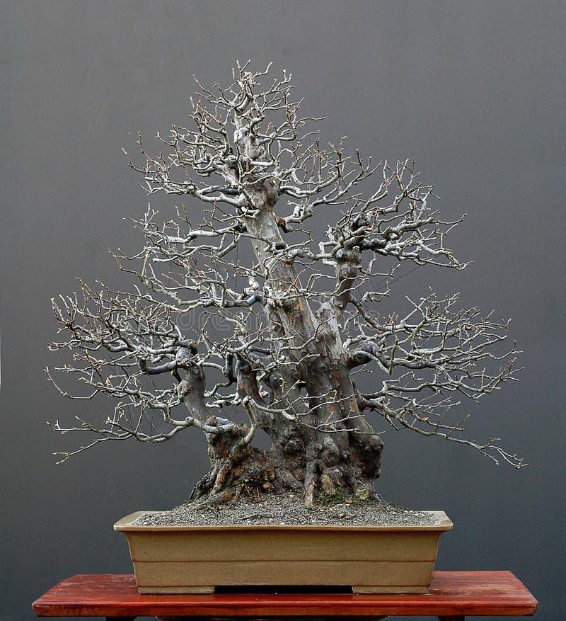 Boom 3 van de bonsai stock foto's