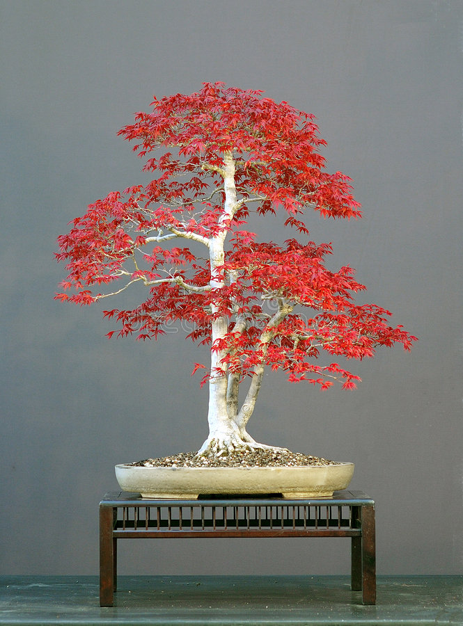 Boom 7 van de bonsai royalty-vrije stock foto's