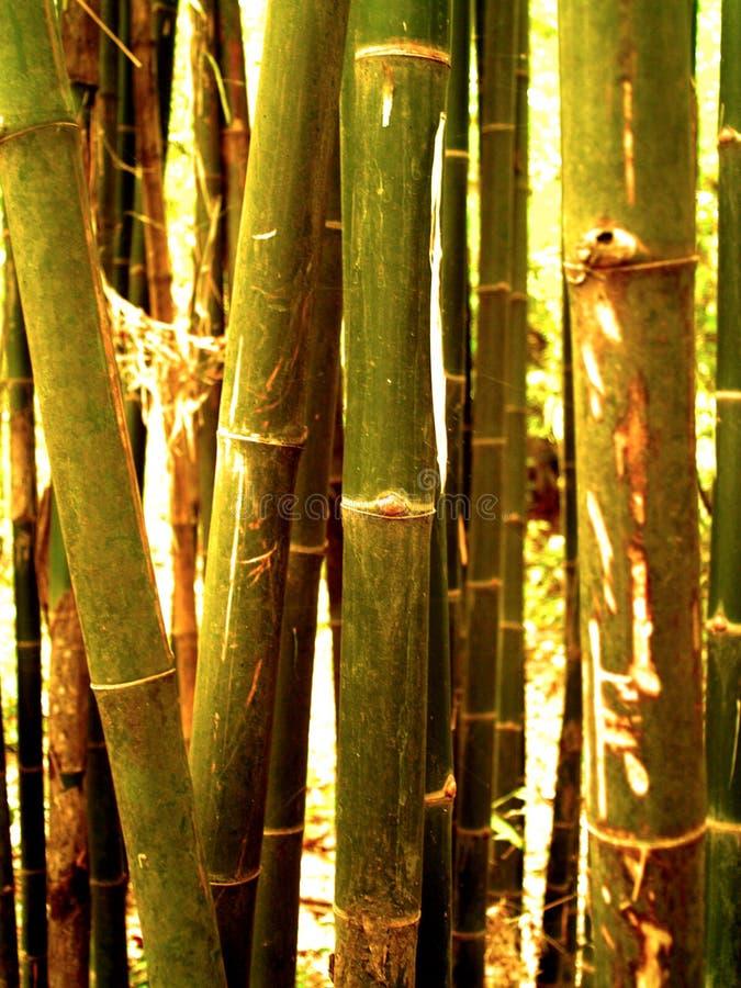 Boom 98 van het bamboe stock foto's