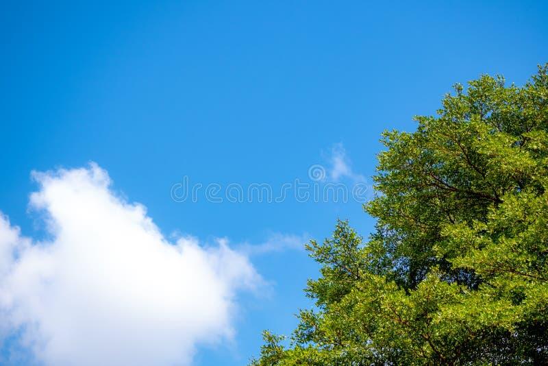 Boom blauwe hemel, boombovenkant tegen blauwe hemel met wolk op een zonnige dag voor achtergrond stock fotografie