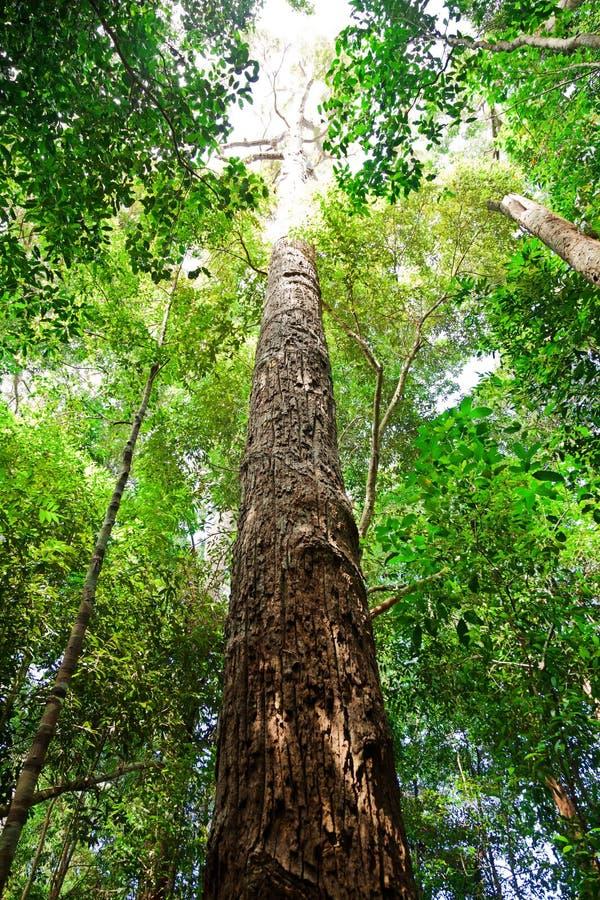 Boom in Borneo stock fotografie