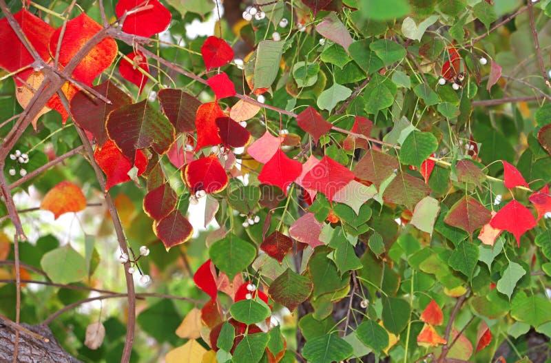Boom in de herfst, rode en groene bladeren royalty-vrije stock foto's
